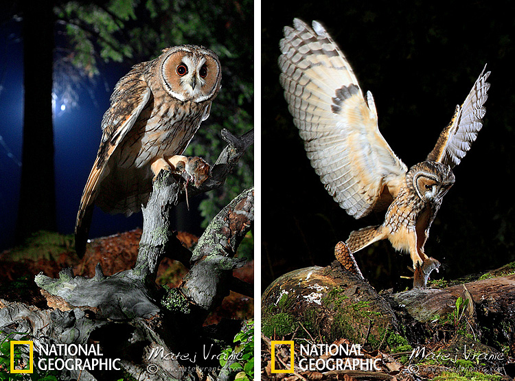 NATIONAL GEOGRAPHIC Asio otus LONG-EARED OWL