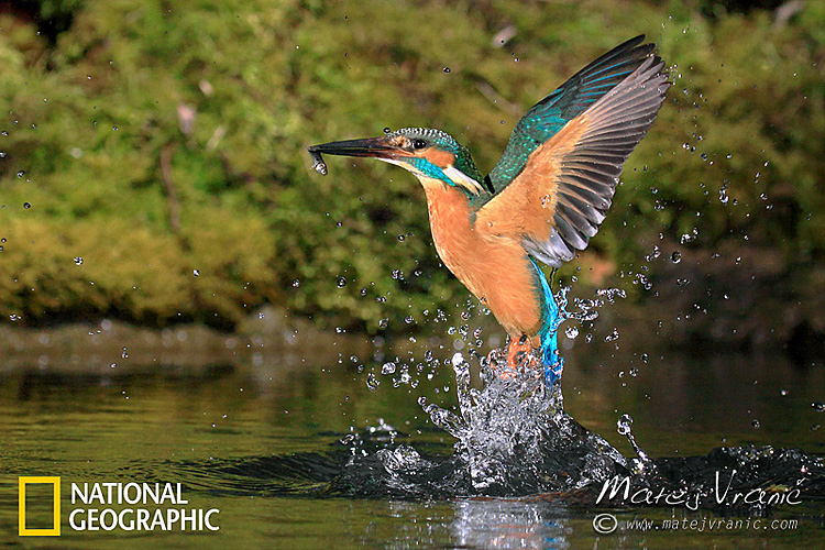 NATIONAL GEOGRAPHIC Alcedo atthis KINGFISHER