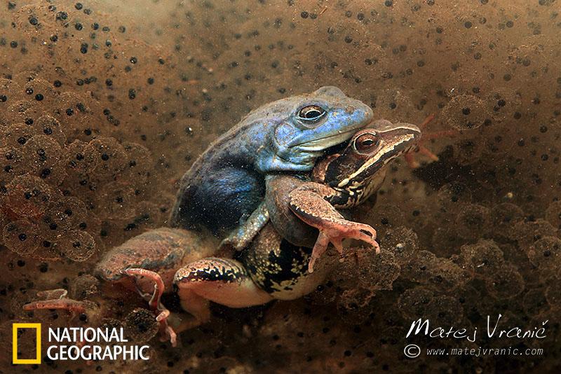 NATIONAL GEOGRAPHIC Rana arvalis MOOR FROG ( Plavček ali barjanska žaba )