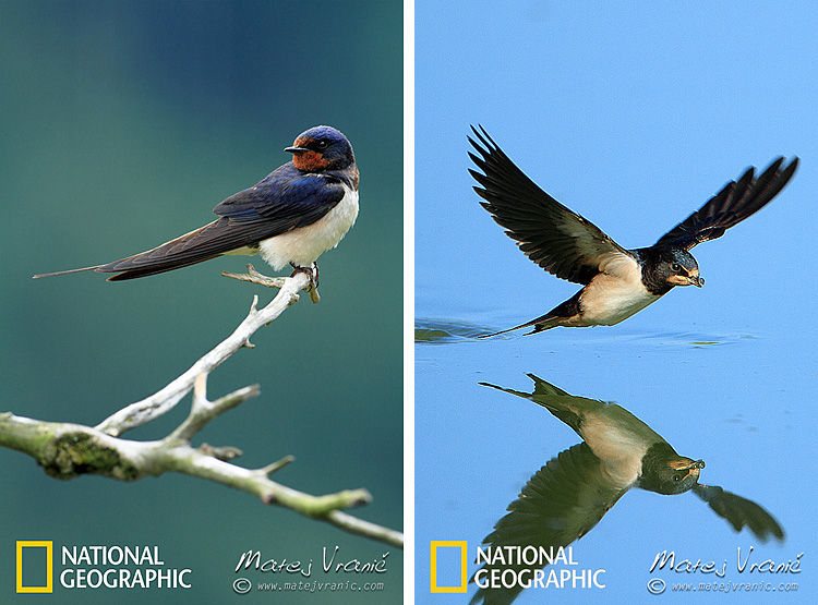 NATIONAL GEOGRAPHIC Hirundo rustica BARN SWALLOW