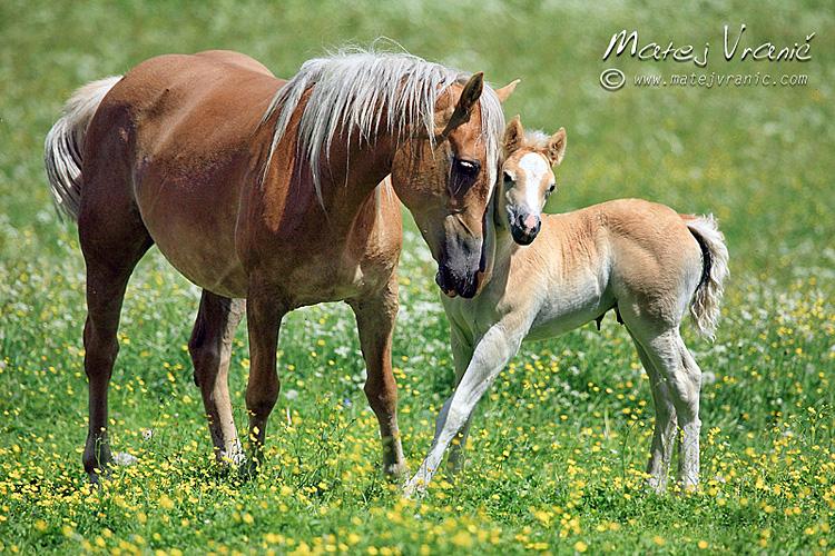 horses matej vrani