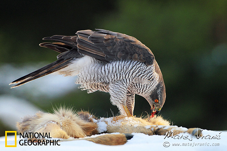 NATIONAL GEOGRAPHIC Accipiter gentilis GOSHAWK