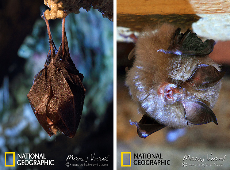 NATIONAL GEOGRAPHIC Rhinolophus hipposideros LESSER HOSESHOE BAT
