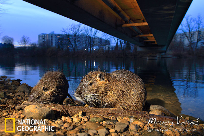 NATIONAL GEOGRAPHIC Myocastor coypus NUTRIA