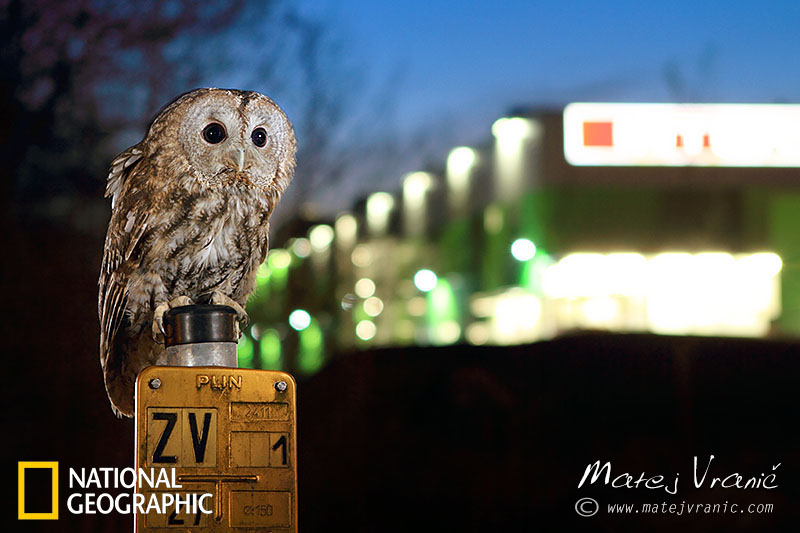 NATIONAL GEOGRAPHIC Strix aluco TAWNY OWL