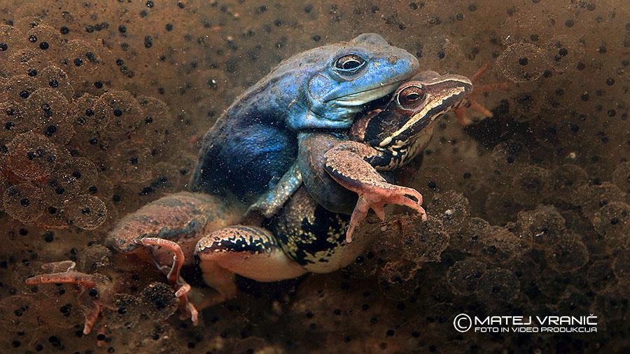 Plavček ali barska žaba ( Rana arvalis )