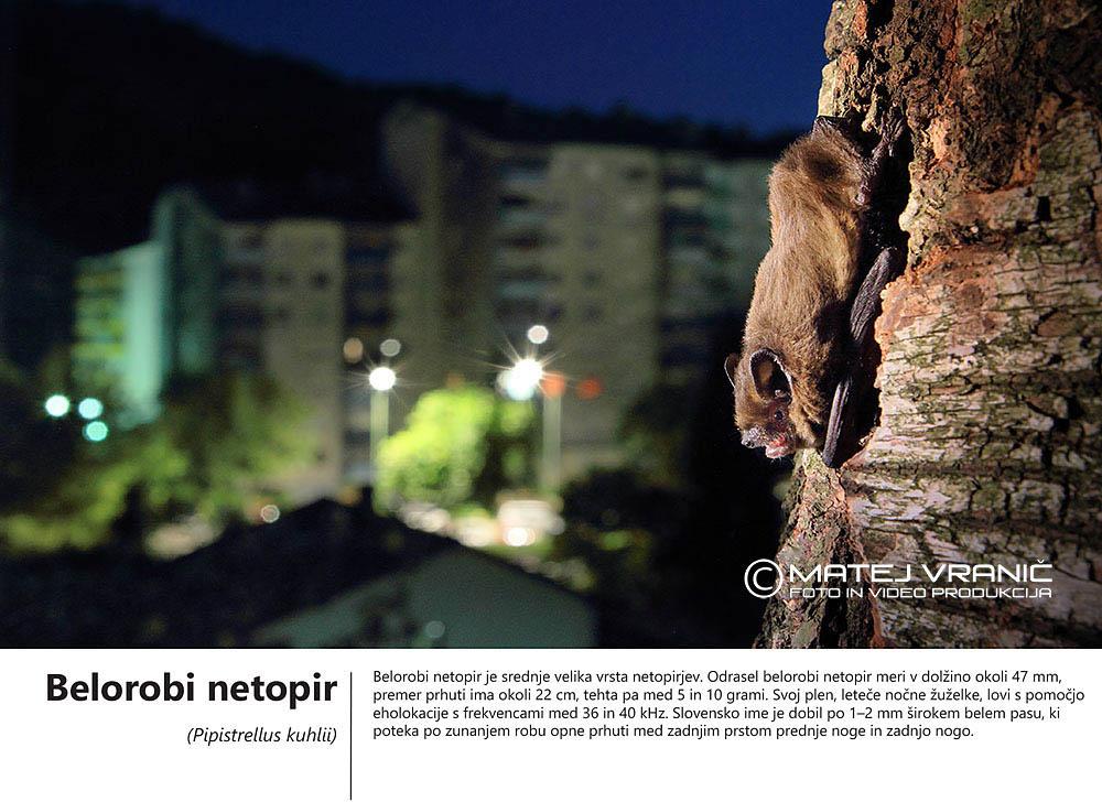 12 belorobi netopir