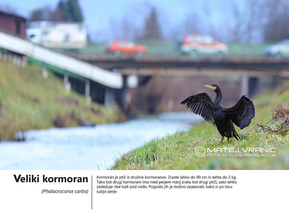 5 veliki kormoran