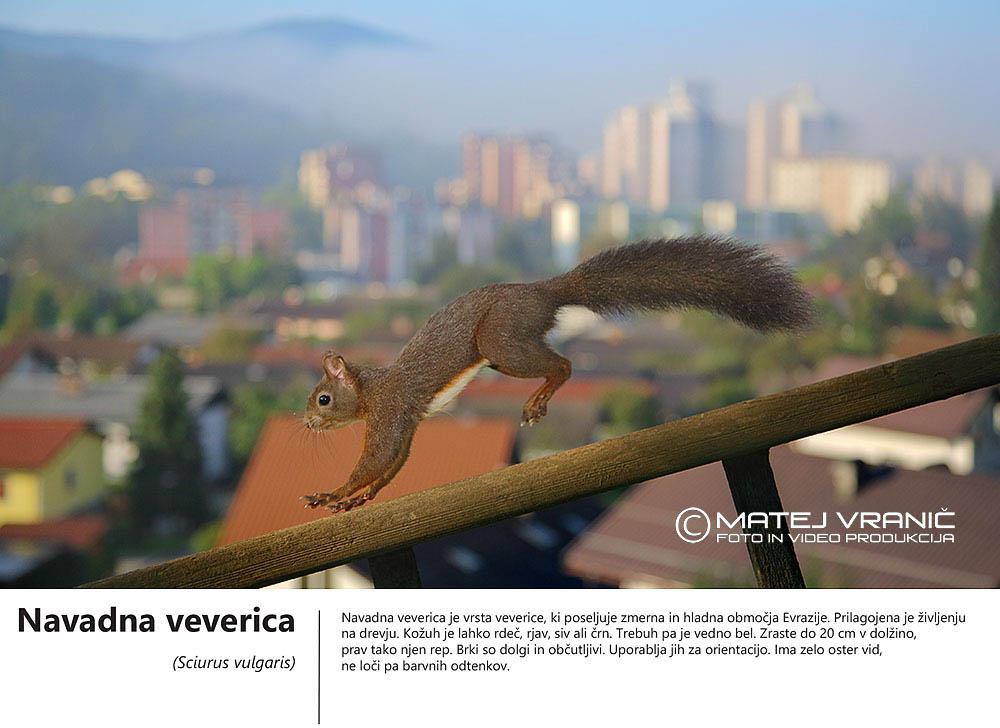 8 navadna veverica